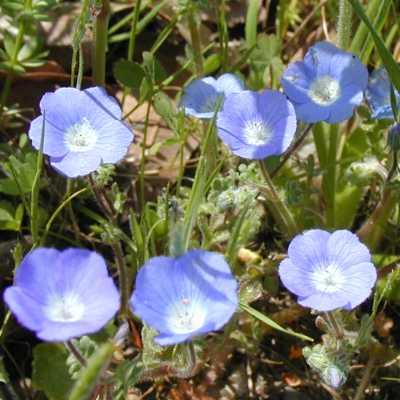 Wildflower identification guide blue baby blue eyes mightylinksfo