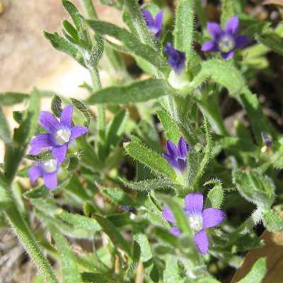 Vine small purple flower yellow center flowers healthy bluecupsierra5 11 07 jpg 24477 bytes wildflower identification guide blue mightylinksfo