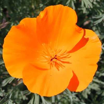 Wildflower identification guide orange california poppy cu mightylinksfo